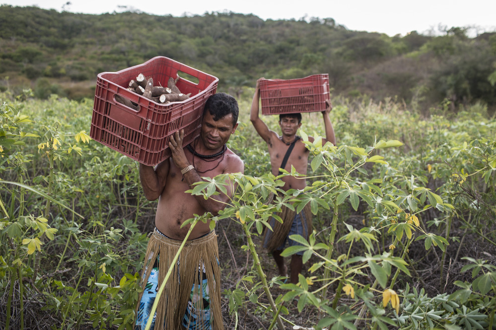 Jose Raildo de Souza and Jailson de Jesus Mendes carry boxes of cassava root from the field that the Kiriri harvest to make flour and other products sold at nearby schools and farmer markets, at Aldeia Marcação Kiriri, near Ribeira do Pombal, in the state of Bahia, Brazil, on Tuesday, April 12, 2016. They wear the native Kiriri garb in honor of Día do Índio, or Indigenous Day, celebrated on April 19.